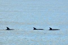 School of common dolphin Stock Image