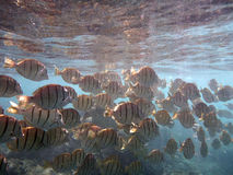 School of Convict Tang swim beneath the surface of the water Stock Photo
