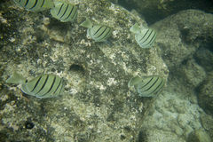 School of Convict Tangs Royalty Free Stock Photo