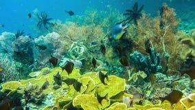 School of coral fish near hard corals on friwen wall, best diving spot near Friwen Island, Gam, Raja Ampat, Indonesia stock video