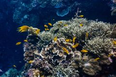 School of coral fishes in a shallow coral reef stock images