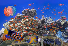 School Of Coral Goldfishes. Red Sea Stock Photos