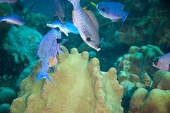 School of creole wrasse Stock Photos