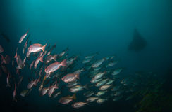 A school of crescent tail big eye fish with a manta ray. A school of shinny red crescent tail big eye fish swimming in moody water with a manta ray Royalty Free Stock Images