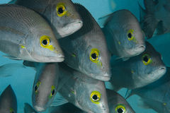 School of curious fish. A group of curious fish with beautiful yellow eyes Royalty Free Stock Photos