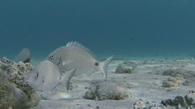 School Of Curious Sea Bream Underwater. School Of Sea Bream Looking For Food On Sandy Seabed In The Aegean Sea Greece stock video footage