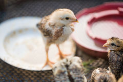 School of Cute Chicks Stock Photography