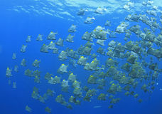 School of Dartfish. A school of dartfish swimming underwater Stock Image