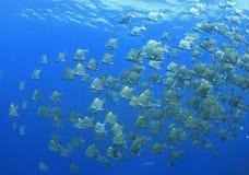 School of Dartfish Stock Image