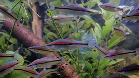 School of denison barb. Swimming in large public aquarium tank at Oceanarium. Underwater life concept stock video footage