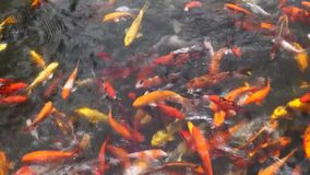 School of different species of koi goldfish swim in a pond of water. School of different species of busy, hungry koi goldfish swim in a pond of water stock video footage