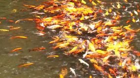 School of different species of koi goldfish swim in a pond of water. School of different species of busy, hungry koi goldfish swim in a pond of water stock video