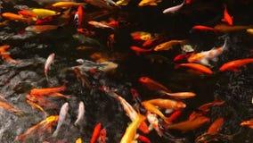 School of different species of koi goldfish swim in a pond of water. School of different species of busy, hungry koi goldfish swim in a pond of water stock footage