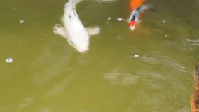 School of different species of koi goldfish swim in a pond of water. Close up stock video footage