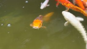 School of different species of koi goldfish swim in a pond of water. Close up stock footage