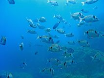 School of Diplodus vulgaris Royalty Free Stock Images