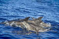 School of dolphins Stock Photography