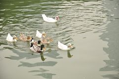 A school of ducks swimming in the lake Stock Photos