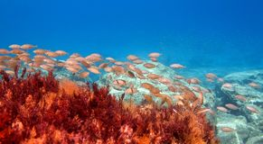 School of Dusky Spinefoot. Underwater photo of a mediterranean fish school and red algae stock images