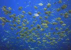 School of Fish. A school of different tropical fish swimming underwater Royalty Free Stock Images