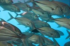 School of fish Royalty Free Stock Photos