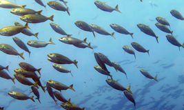School of fish. School of Sarpa salpa in the mediterranean sea Stock Photography