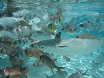School of Fish. Swimming in tropical waters in tahiti Stock Photos