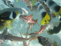 School of Fish 2. School of fish swimming in tropical waters in tahiti Stock Images