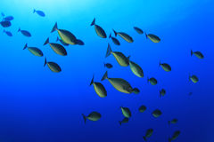 School of  Fish Stock Images