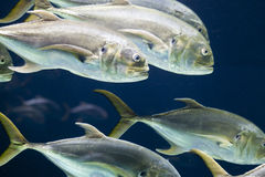 School of Fish. Closeup of a school of Crevalle jack fish Royalty Free Stock Photography