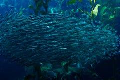 School of fish. In Monterey Bay Aquarium Stock Photography