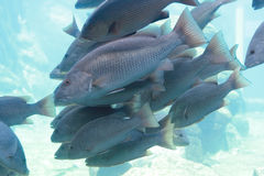School of fish. A large school of fat fish Stock Photography