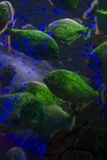 School of fish in the aquarium. dangerous piranha behind glass. Royalty Free Stock Photo