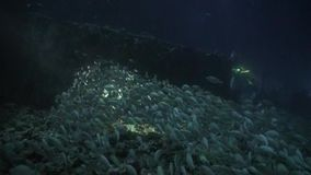 School of fish on background of bottom at night underwater. Swimming in world of colorful beautiful seascape. Aquarium of wild nature. Abyssal relax diving stock video footage