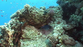 School of fish on background bright coral in in clean clear water of Red sea. Swimming in world of colorful beautiful wildlife of reefs and algae. Inhabitants stock video footage