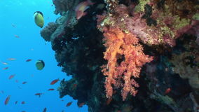 School of fish on background bright coral in in clean clear water of Red sea. Swimming in world of colorful beautiful wildlife of reefs and algae. Inhabitants stock footage