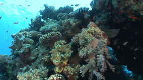 School of fish on background in clean clear water in Red sea. Swimming in world of colorful beautiful wildlife of reefs and algae. Inhabitants in search of stock video