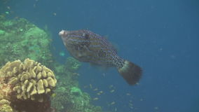 School of fish on background of clear seabed underwater of Maldives. stock footage