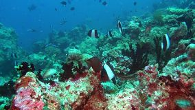School of fish on background colorful corals underwater in sea of Maldives. Swimming in world of beautiful seascape. Aquarium of wild nature. Abyssal relax stock video
