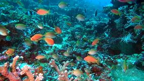 School of fish on background colorful corals underwater in sea of Maldives. Swimming in world of beautiful seascape. Aquarium of wild nature. Abyssal relax stock video footage