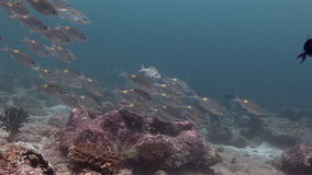 School of fish on background colorful corals underwater in sea of Maldives. Swimming in world of colorful beautiful wildlife of corals reefs. Inhabitants in stock video footage