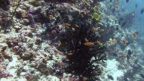 School of fish on background colorful corals underwater in sea of Maldives. Swimming in world of colorful beautiful wildlife of corals reefs. Inhabitants in stock video