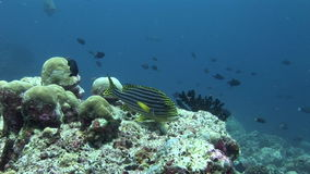 School of fish on background colorful corals underwater in sea of Maldives. stock video