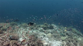 School of fish on background colorful corals underwater in sea of Maldives. stock footage