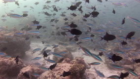 School of fish on background colorful corals underwater in sea of Maldives. Swimming in world of beautiful wildlife of reefs. Inhabitants in search of food stock footage