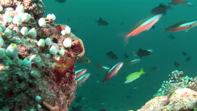 School of fish on background colorful corals underwater in sea of Maldives. stock video footage