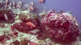School of fish on background colorful corals underwater in sea of Maldives. Swimming in world of wildlife of reefs. Inhabitants in search of food. Abyssal stock video footage