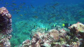 School of fish on background underwater corals in deep sea of Galapagos Islands. stock video footage