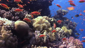 School of fish on background underwater landscape in Red sea. Swimming in world of colorful beautiful wildlife of reefs and algae. Inhabitants in search of stock video