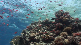 School of fish on background underwater landscape in Red sea. Swimming in world of colorful beautiful world of coral reefs and algae. Inhabitants in search of stock footage